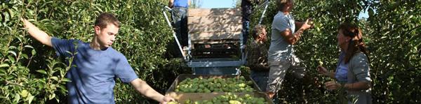 Familie Senft und Team bei der Birnenernte